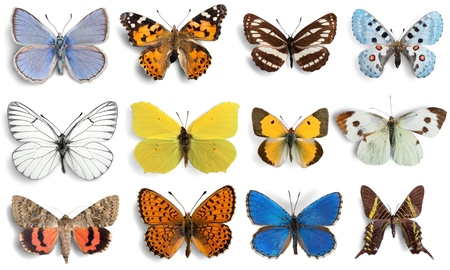 Butterfly, Insect, Wing.