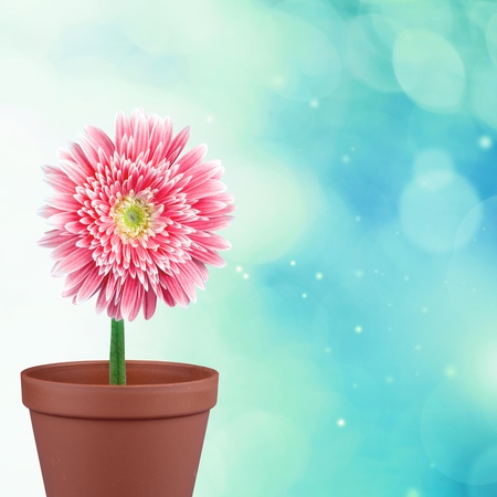 daisies: Gerbera Daisy, Single Flower, Pink.