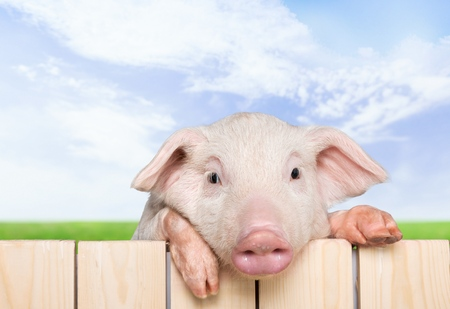 cute pig: Pig, closeup, isolated.