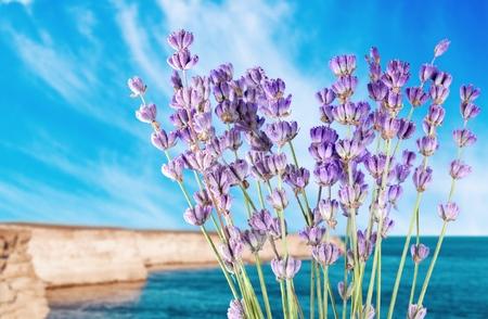 lavender coloured: Lavender, Lavender Coloured, Isolated.
