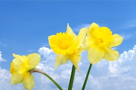 daffodil: Daffodil, Flower, Blooming. Stock Photo