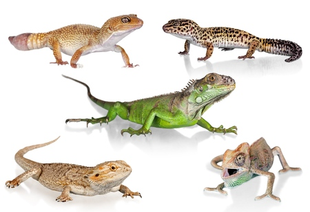 insecto: Camaleón, reptil, animal.
