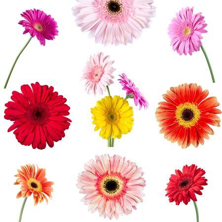 gerbera daisy: Gerbera Daisy, Flower, Single Flower.