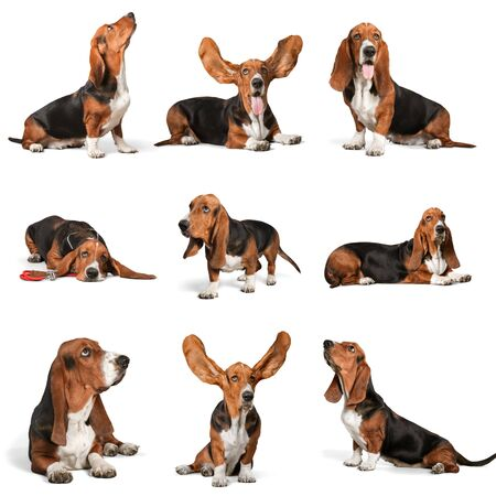 basset: Basset Hound, Hound, Dog.