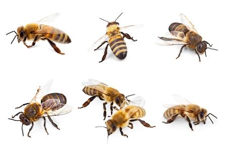 miel de abeja: Abeja, miel de abeja, insecto. Foto de archivo