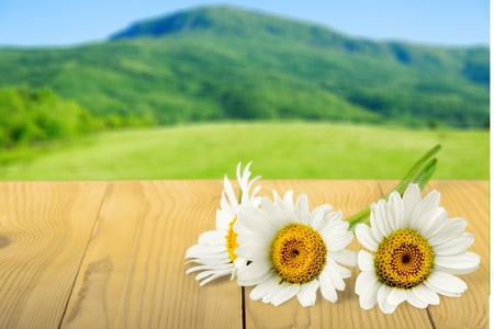 chamomile flower: Daisy, Chamomile, Flower.