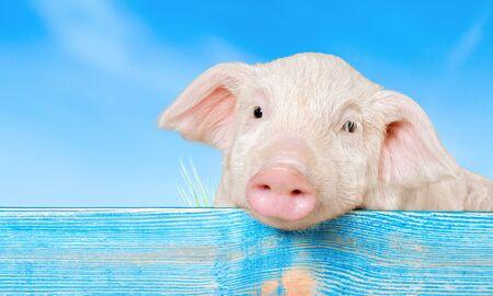 Cerdo, animales domésticos, cochinillo. Foto de archivo