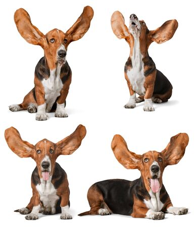 basset: Ears, hound, basset.
