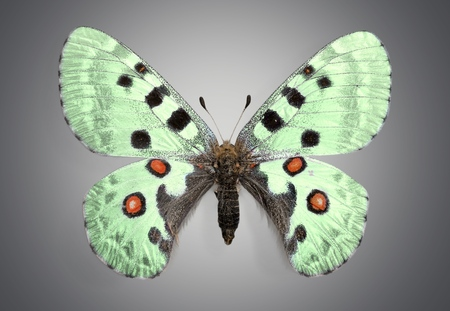 animal vein: Butterfly, Insect, Wing.
