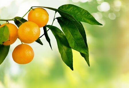Orange Tree, Orange, Fruit.