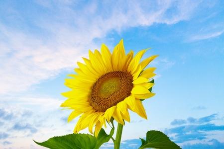 Sunflower, Sun, Single Flower.