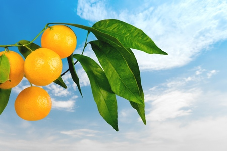 naranja arbol: Naranjo, naranja, frutas. Foto de archivo