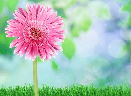 flor morada: Gerbera, Una sola flor, Flor.