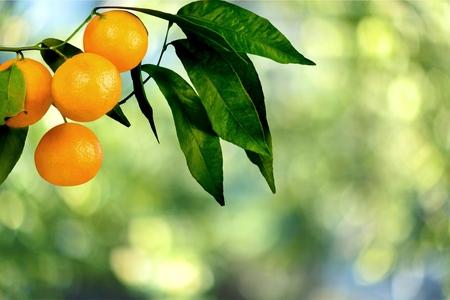 naranjo arbol: Arbol de naranjas.