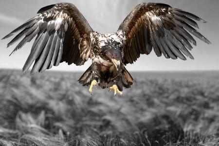 aigle: Hawk.
