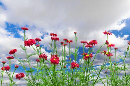 fleurs des champs: Fleurs sauvages. Banque d'images