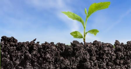 arbol roble: Seedling. Foto de archivo