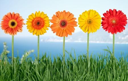 gerbera daisy: Flower.