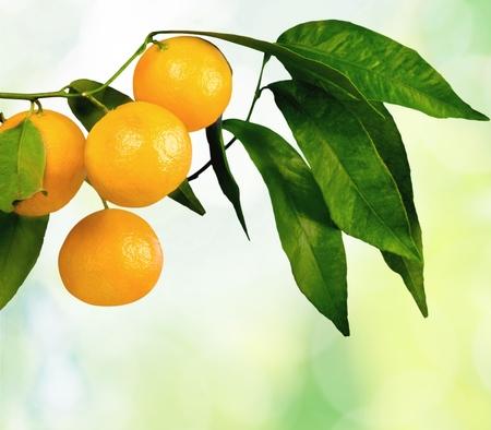 naranja arbol: Arbol de naranjas.