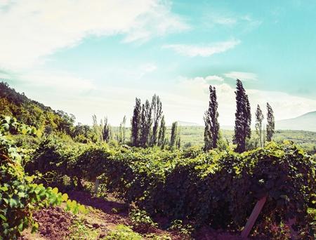 riesling: Vineyard. Stock Photo