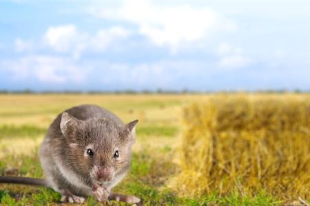 vertebrate animal: Mouse close up  Stock Photo