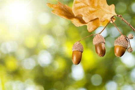 acorn: Oak branch.