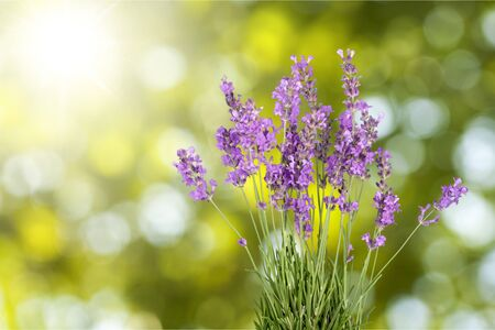 lavender flowers: Lavender Flowers.