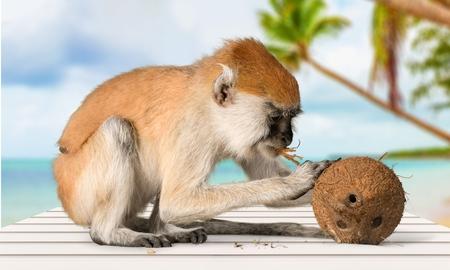 primate: Primate Monkey.
