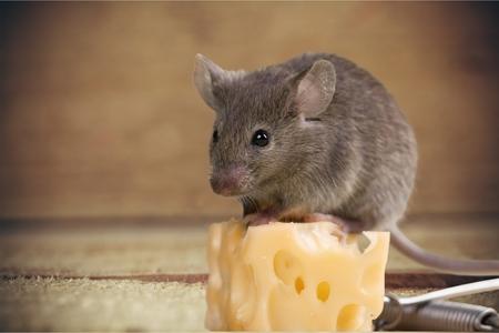 raton: Riesgo ratonera. Foto de archivo