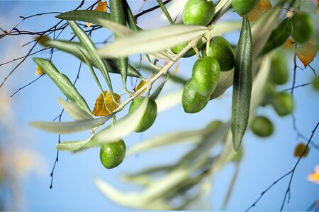 rama de olivo: Arbol de oliva.