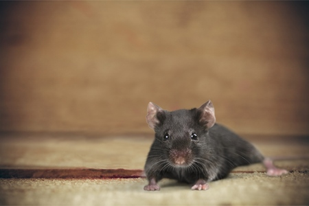 Mouse Risk. Stock Photo