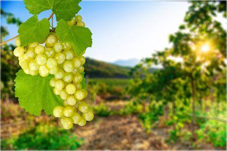 riesling: Grape. Stock Photo