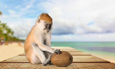 primates: Monkey.