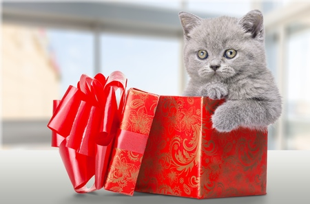kitten: Kitten inside present box  Stock Photo