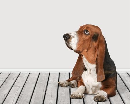 hound: Basset Hound. Stock Photo