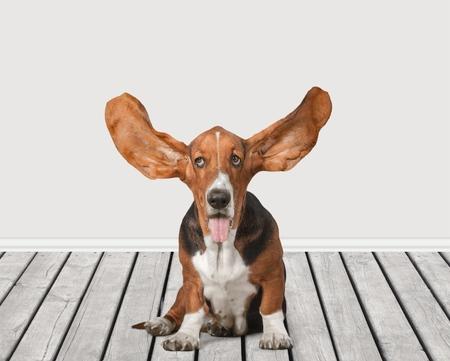 basset: Basset hound. Stock Photo