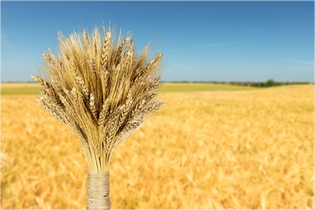 cereal plant: Wheat.