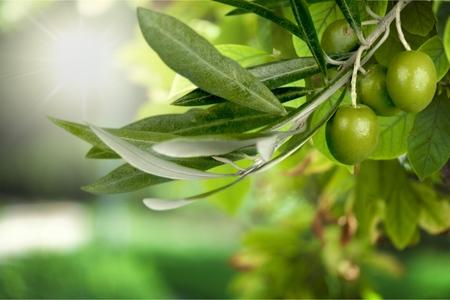 hoja de olivo: Rama de olivo.