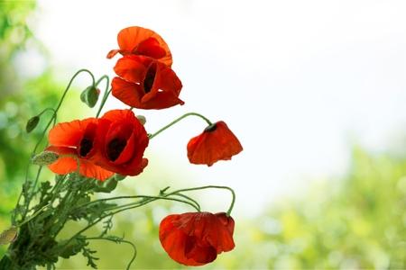 descriptive color: Poppy Flower. Stock Photo
