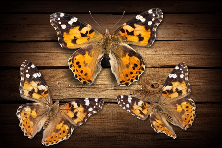 single animal: Butterflies.