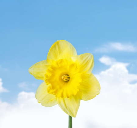daffodil: Daffodil.