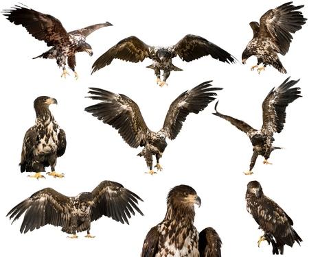 eagle wings: Eagle.
