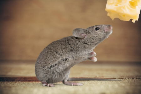 mouse: Mouse Risk. Stock Photo