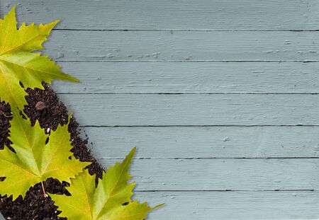 sycamore leaf: Leaf. Stock Photo