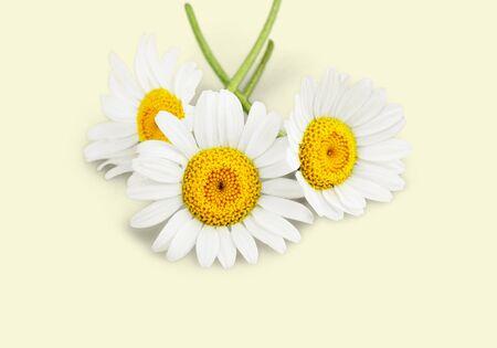 marguerite: Daisy. Banque d'images