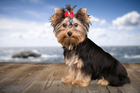 Yorkshire Terrier: Dog.