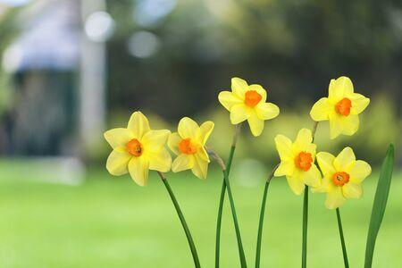 flower petal: Daffodil.
