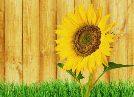 single object: Sunflower. Stock Photo