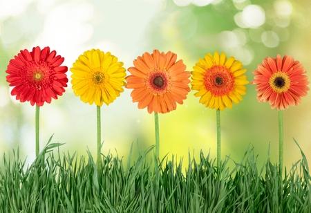 pâquerette: Fleur.