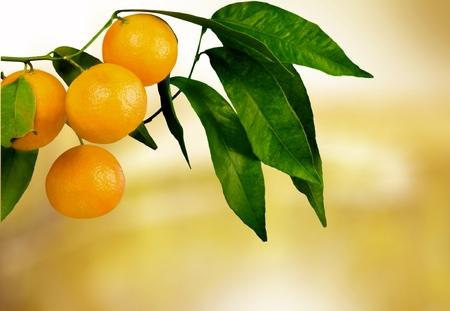 mandarin orange: Orange Tree.